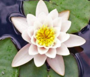 The Lotus represents Alice